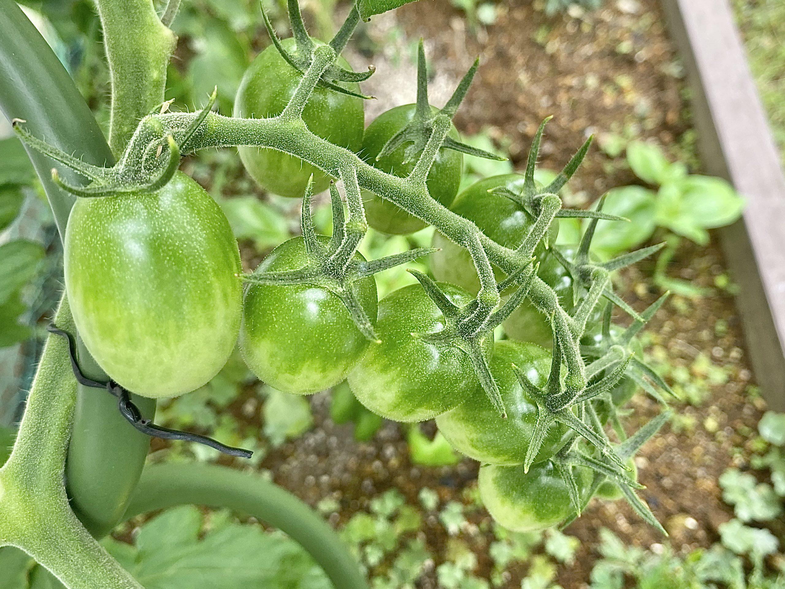 プチトマト緑