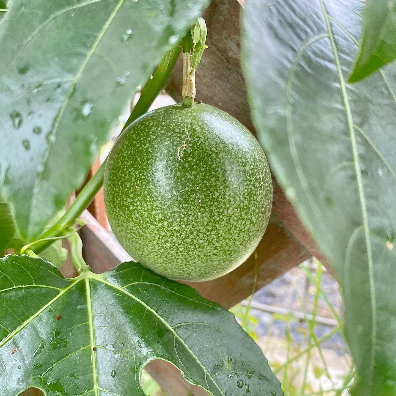 パッションフルーツ1